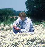 Geof Lyth inspecting a crop of Roman chamomile in the united Kingdom