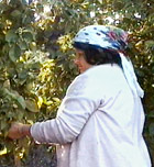 Bulgarian rose harvesting