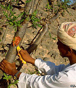 Tapping a Frankincense tree