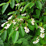 Flowers of Styrax benzoin