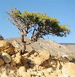 Myrrh trees can grow seemingly anywhere!