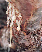 Oleo-resin oozes from the tree