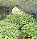 young patchouli plants growing at a nursery in India