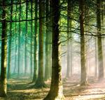 Pinus sylvestris forest in Scotland