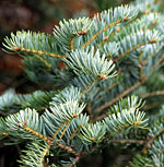 Silver fir needles are actually leaves.