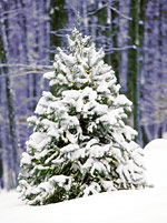 Fir tree was a symbol of Christianity.