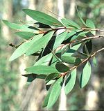 Niaouli leaves