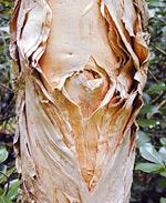 Bark of the niaouli tree