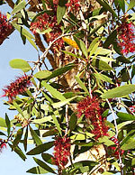 Rare red niaouli flowers