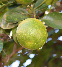 Bergamot fruit yields a soothing essential oil