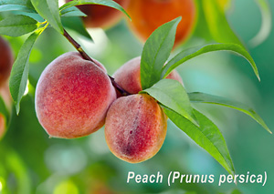 Moisturizing Peach Kernal Oil
