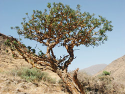 Frankincense Tree Faces Uncertain Future