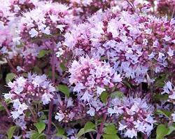 Origanum majorana flowers