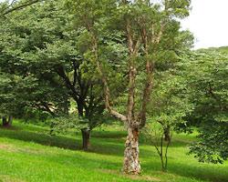 Niaouli tree
