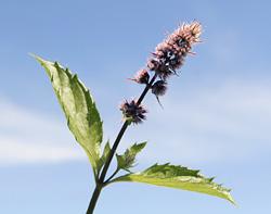 Mentha piperita flower