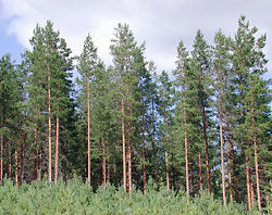 Pine forest helps limit climate change