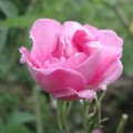 Rose essential oil has a relaxing effect