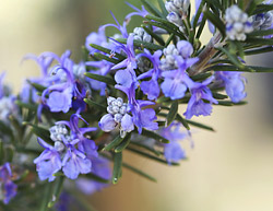 Rosemary & Lavender Essential Oils Affect Mood; Study
