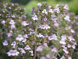 Sweet thyme flowers