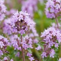Thyme essential oil reduces inflammation