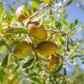 Argan fruits are the source of argan oil