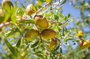 Argan Oil – Morocco's Liquid Gold!