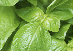 Basil Essential Oil Shows Bacteriostatic Effects