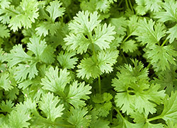 Coriander Oil Could Be Natural Alternative To Antibiotics