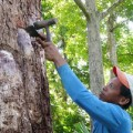 Tapping the tree for oleoresin