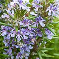 Rosemary Essential Oil As A Natural Preservative