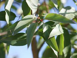 Eucalyptus citriodora leaves