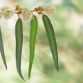 Eucalyptus globulus leaves are the source of essential oil