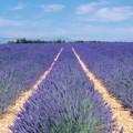 Lavender Essential Oil Proven Effective Against Migraines
