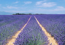 Lavender Essential Oil Proven Effective Against Migraines