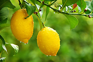 Citrus limonum essential oil profile