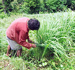 Collecting lemongrass for distillation