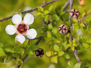 Manuka Essential Oil As Effective Natural Herbicide