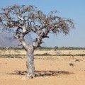 Myrrh essential oil is derived from Commiphora myrrha