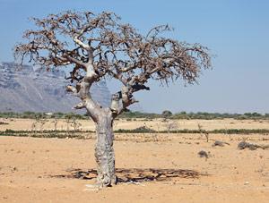 Myrrh essential oil is derived from Commiphora myrrha
