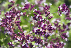 Origanum Essential Oil Research