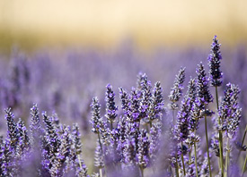 Lavender Essential Oil Eases Post-Cesarean Pain