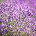 Lavender grown in Tasmania