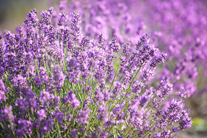 Lavender Field Day