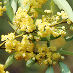 Lemon-scented flowers of the may chang tree
