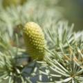 Essential oil profile of cedar atlas