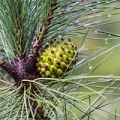Discover the history and many uses of pine needle essential oil