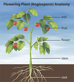 Understanding plant anatomy helps to understand essential oils