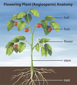 Understanding plant anatomy helps to understand essential oils