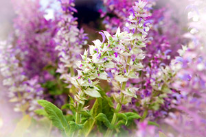 Essential oil of clary sage in aromatherapy