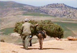 Transporting rosemary by donkey to the still